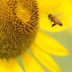 動物の花粉媒介者の減少がヒトの栄養と世界的健康に及ぼす影響:モデル化分析 (ランセット)